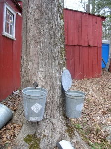 Two taps and buckets and on this maple tree.