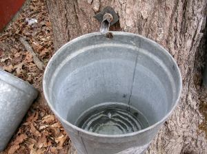 Sap collecting in a bucket