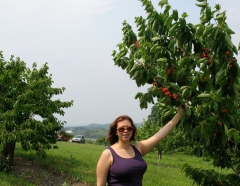 Picking cherries at Fix Bros.
