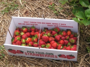 PYO strawberries