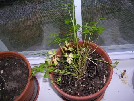 Non-organic cilantro