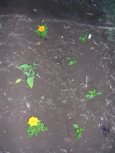 Pepper plants and Marigolds