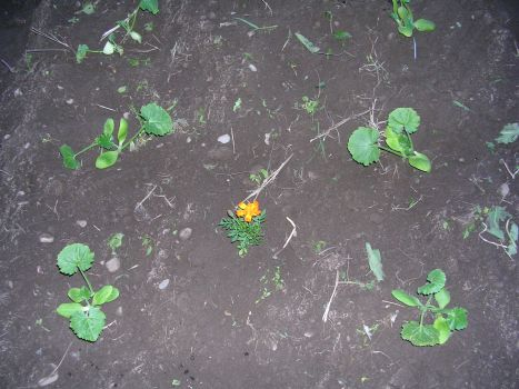 Zucchini plants and more Marigolds
