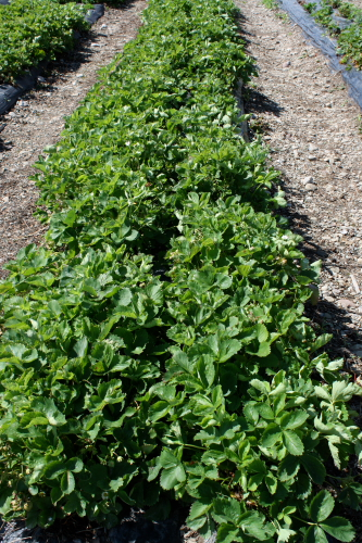 Row of strawberry plants