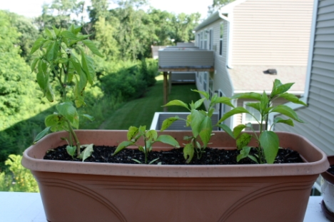 Jalapeno pepper plants