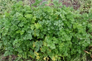 Out of control curly parsley