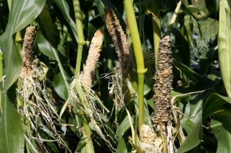 Lev's corn