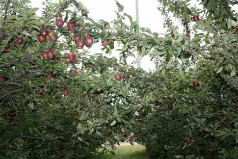 It's a tunnel of apples